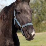 Stichting Manegepaarden Pensioenfonds - Gabber