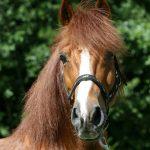 Stichting Manegepaarden Pensioenfonds - Mistral